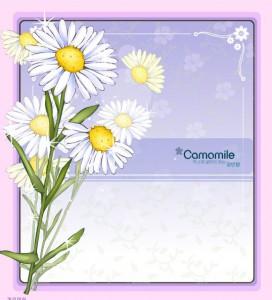 Camomile flower frame vector