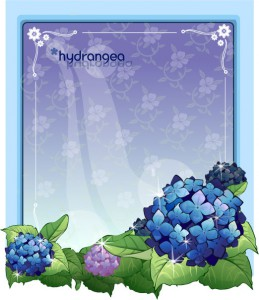 Hydrangea flower frame vector