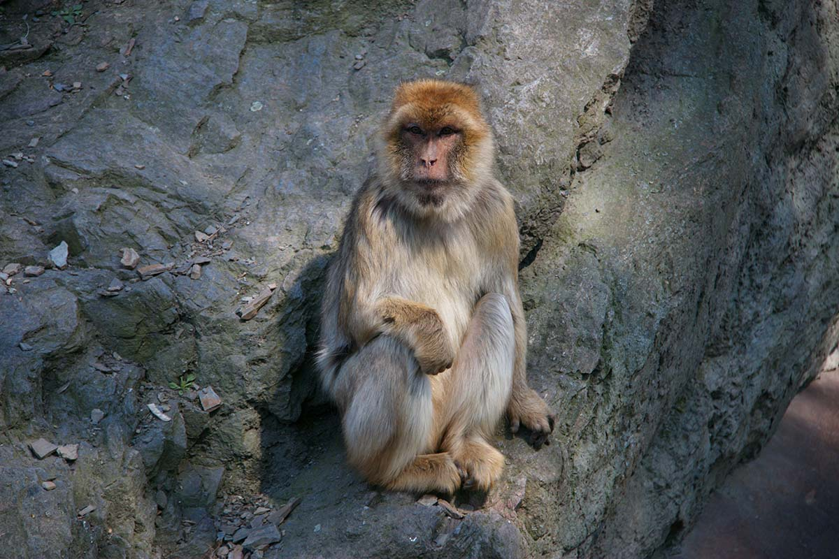 Monkey on the rocks free stock photo