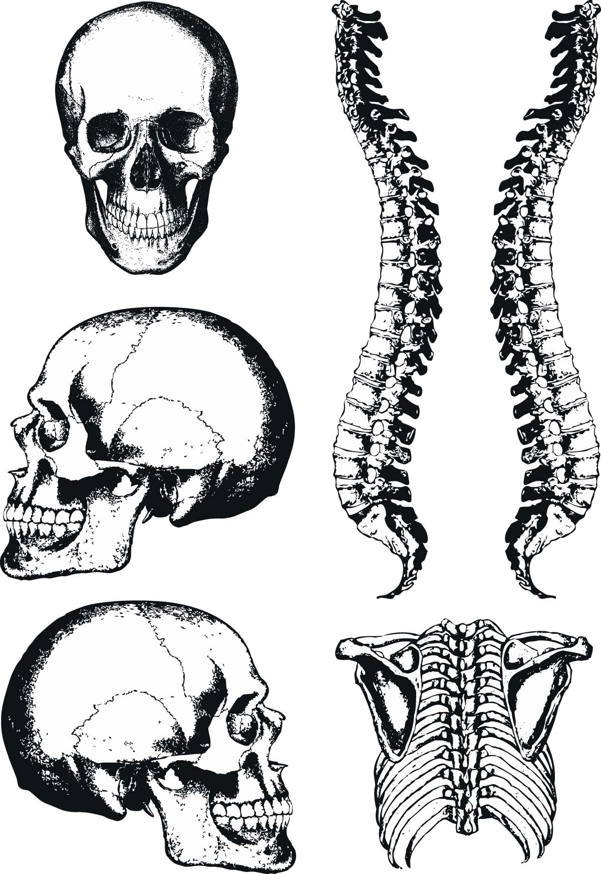 Human Anatomy Graphic Skull And Spine Vector Free Download
